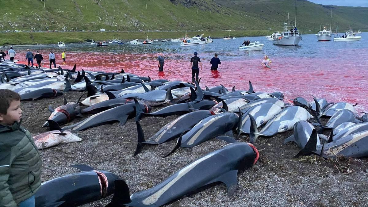 На Фарерских островах охотники загнали и убили 1428 белобоких дельфинов